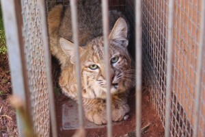 Large bobcat captured, relocated from Southern Utahneighborhood