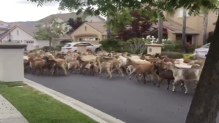 200 Goats Broke Loose And Ran Free Through A Residential Neighborhood