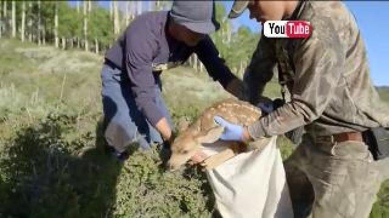 Researchers catch, collar fawns to study mortality rates