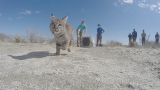 sdhs bobcat release.png