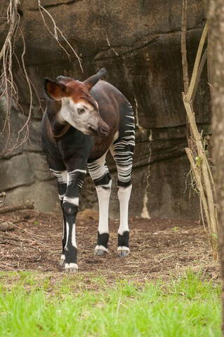 2017 Zoo Babies include tiger cubs, painted dog pups