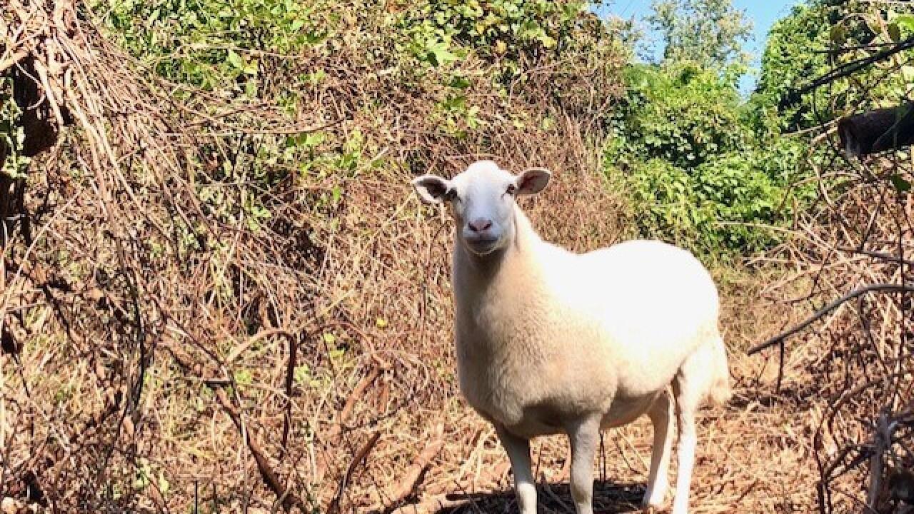 sheep at hoffler creek wildlife preserve.jpg