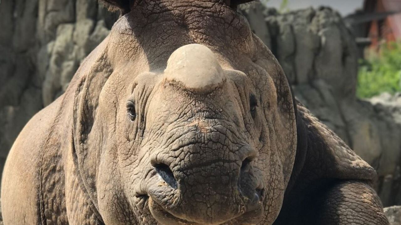 Tensing, Denver Zoo'a pregnant greater one-horned rhino