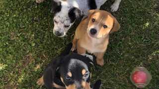 AAA looking for puppy fosters