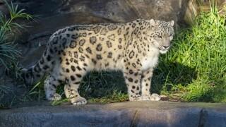 Snow leopard Ramil
