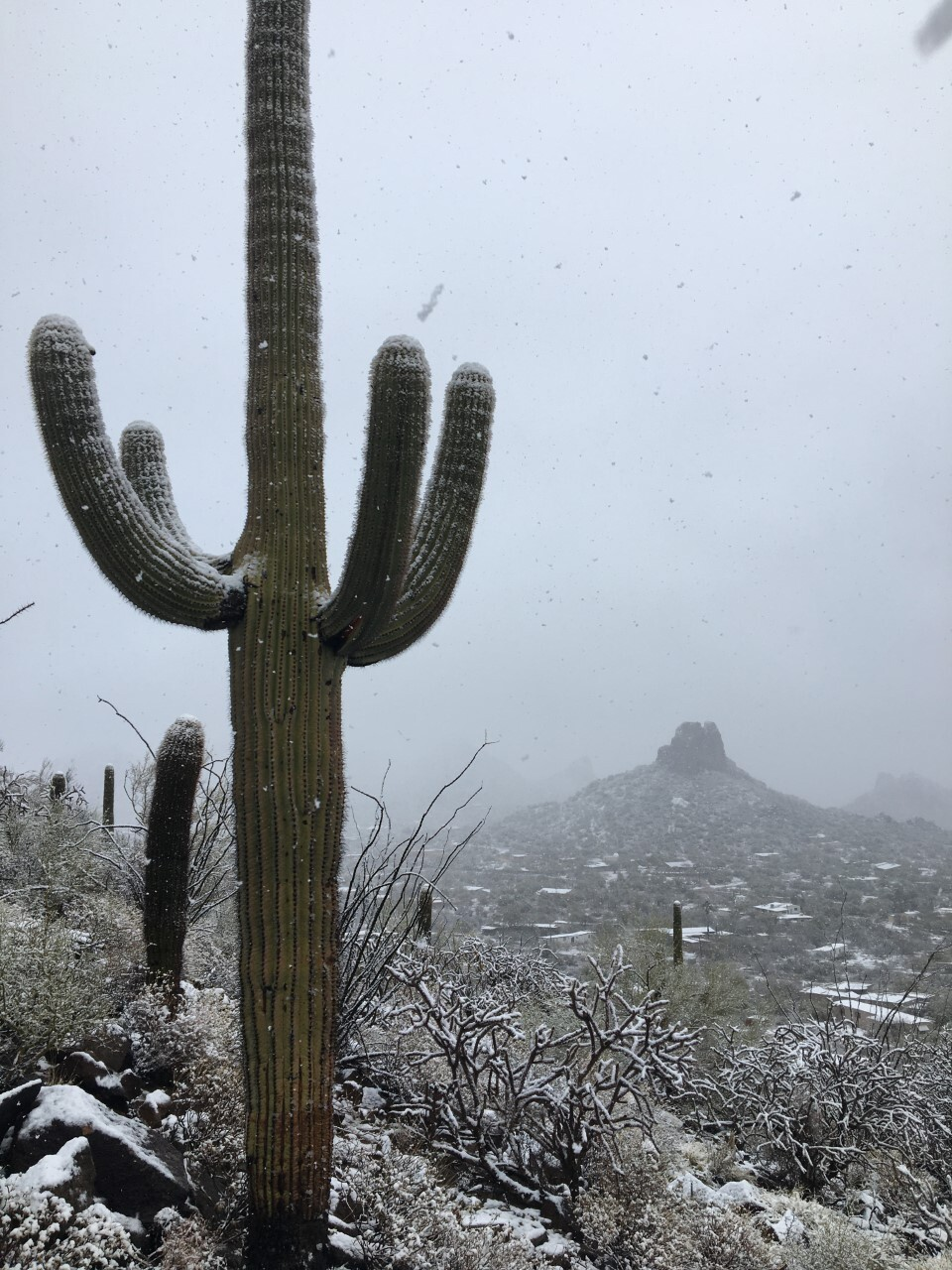 Saguaros in snow, southwest Tucson