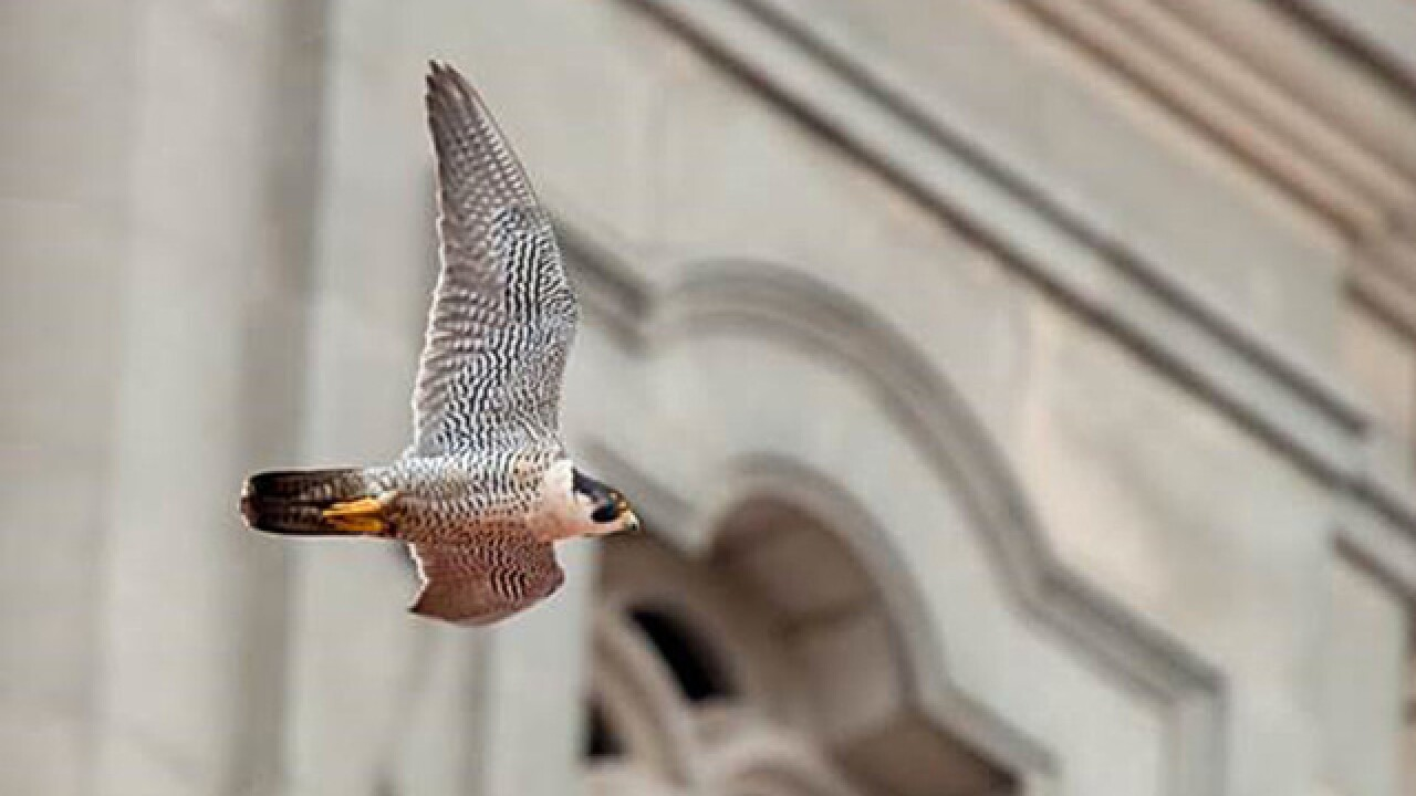 Orozco the peregrine falcon spotted in Omaha