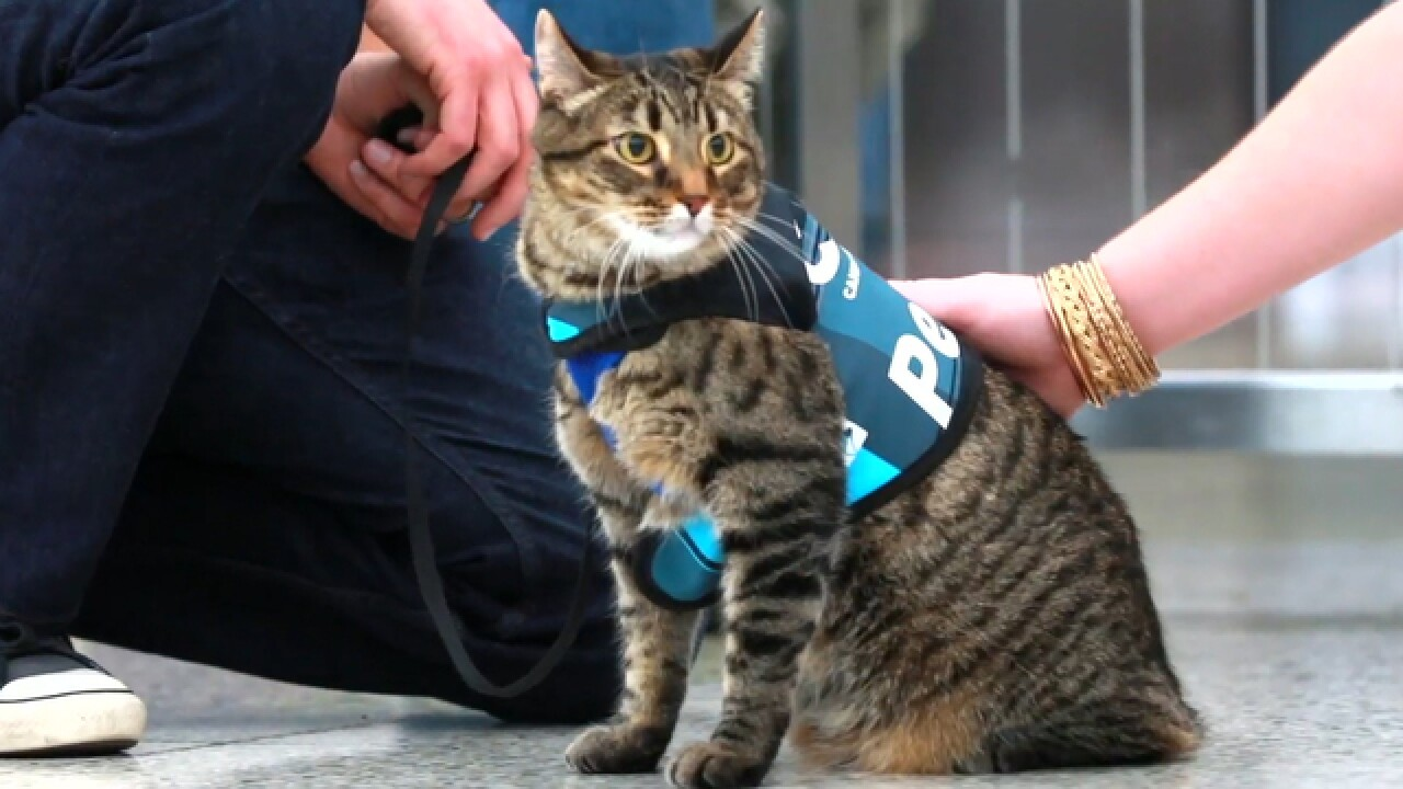Meet Xeli, Denver International Airport's new therapy cat