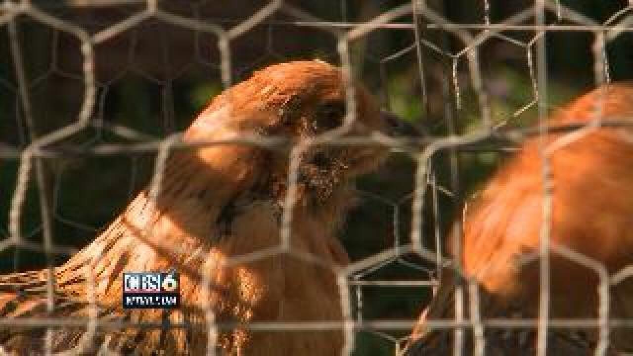 MARK HOLMBERG: Henrico woman issued citation for backyard chickens