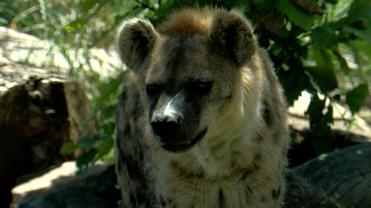 Hyena.png