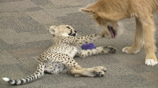 The Cincinnati Zoo's cheetah new cub is BFFs with a rescue puppy