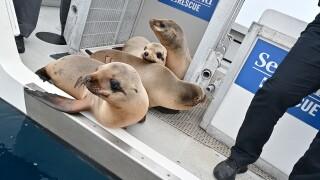 SeaWorld returns rescued sea lions 2.jpg