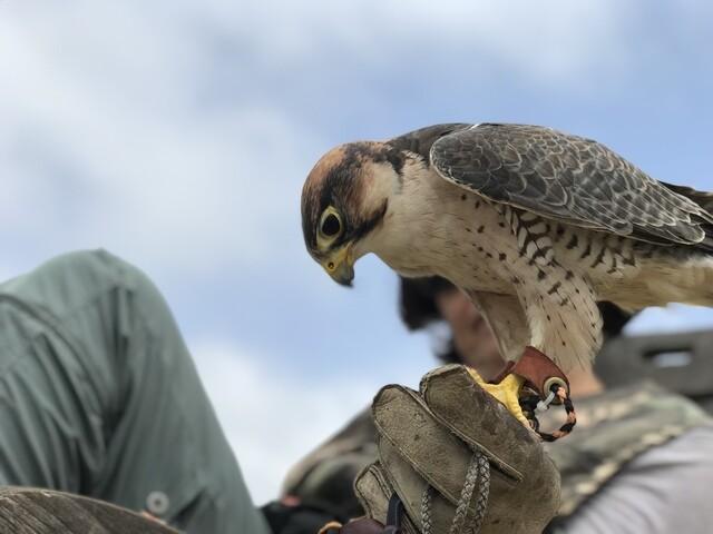 PHOTOS: 10News explores parahawking: Paragliding falconry