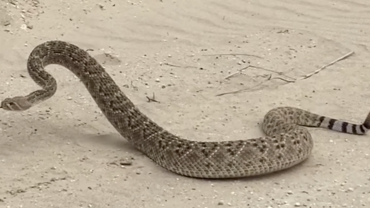 Social media video prompts warning about rattlesnakes in beach dunes