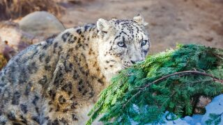 Central Coast Living: Sledding, snow leopards & reindeer at the Santa Barbara Zoo