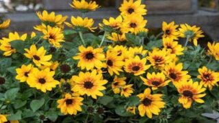 This Sunflower Plant Can Produce Up To 1,000 Blooms In One Season