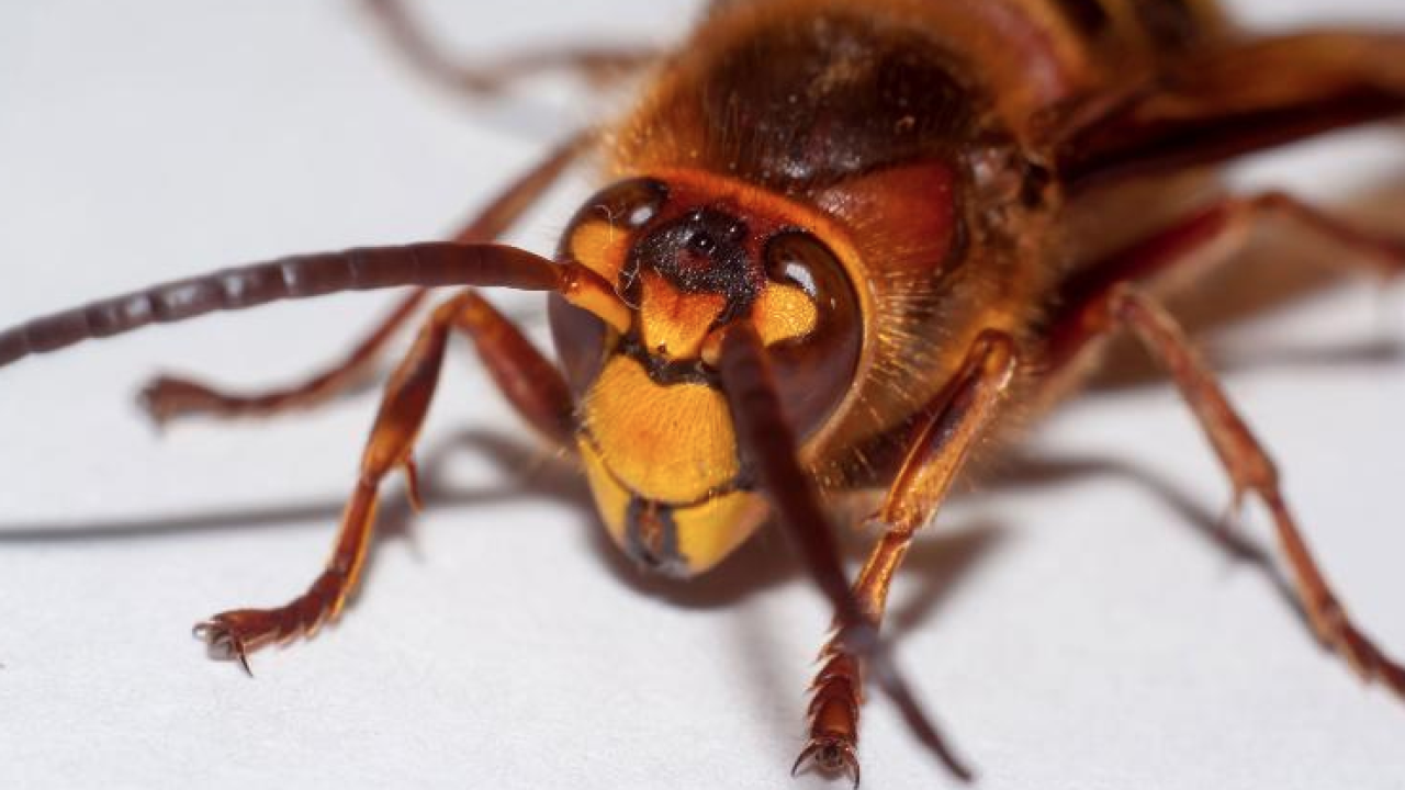 """Asian giant hornets"" are an invasive and potentially deadly species."