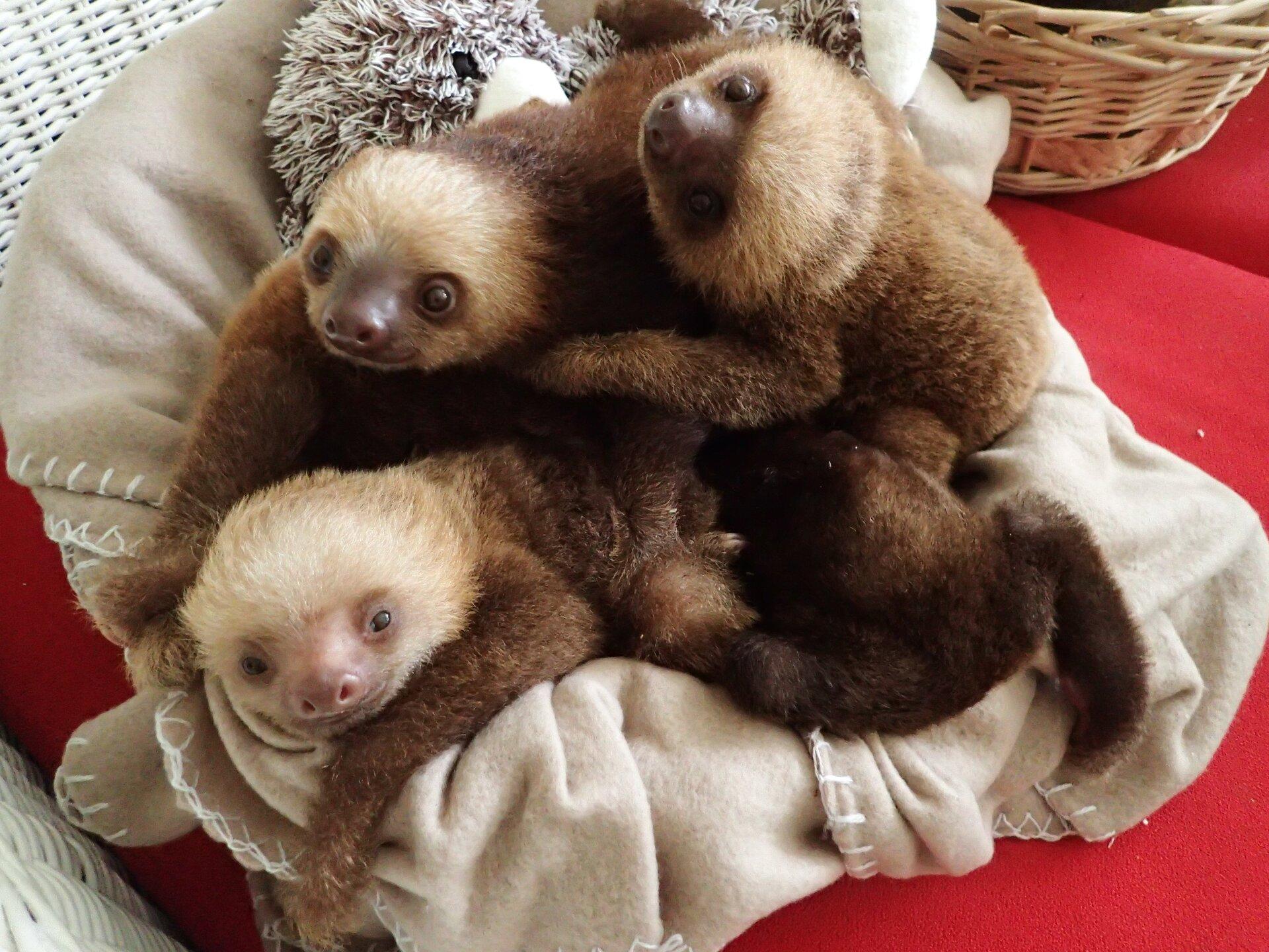 Baby Sloths (10).JPG