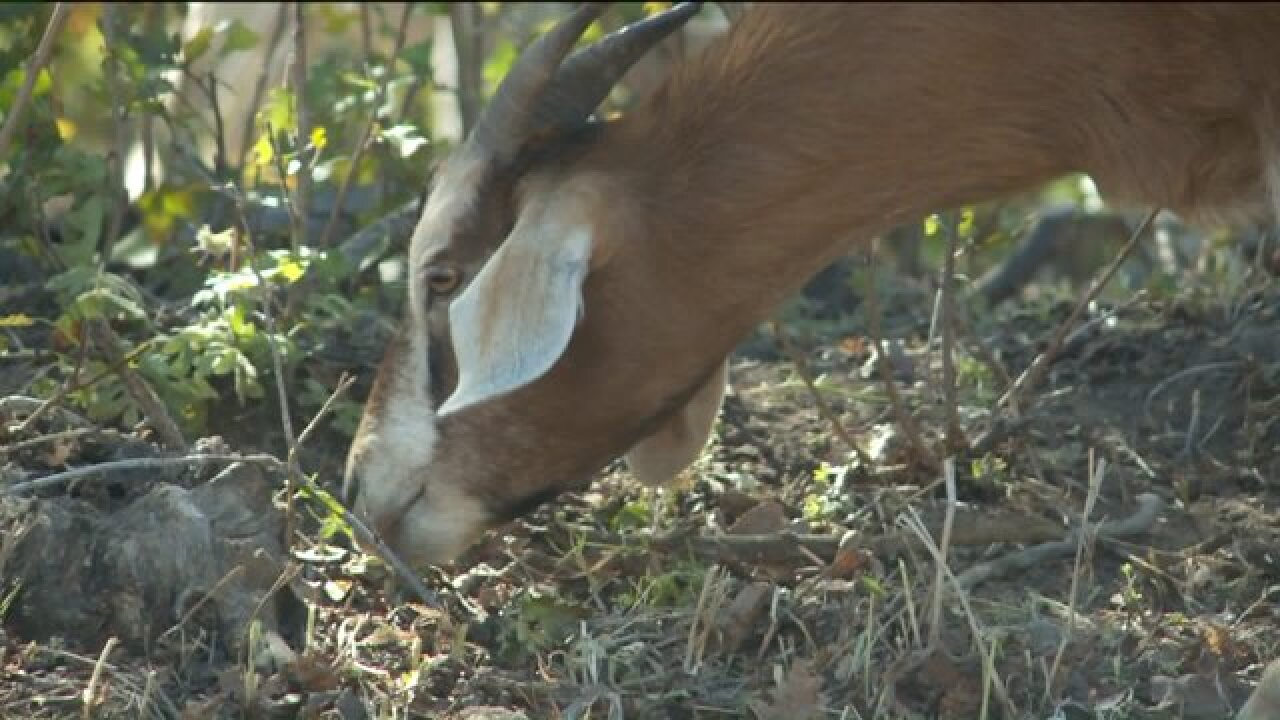 200 goats taking up residence in Draper to help reduce wildfire risk
