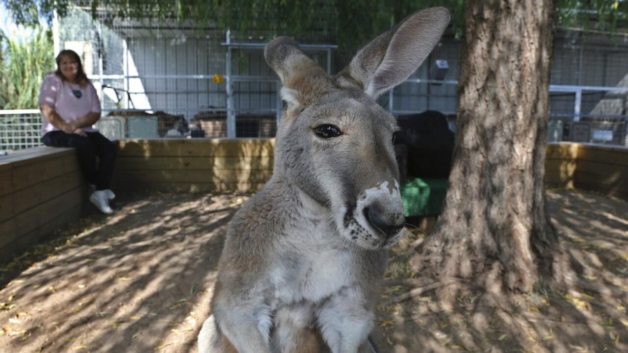 Police in Australia record kangaroo bounding through deserted city center