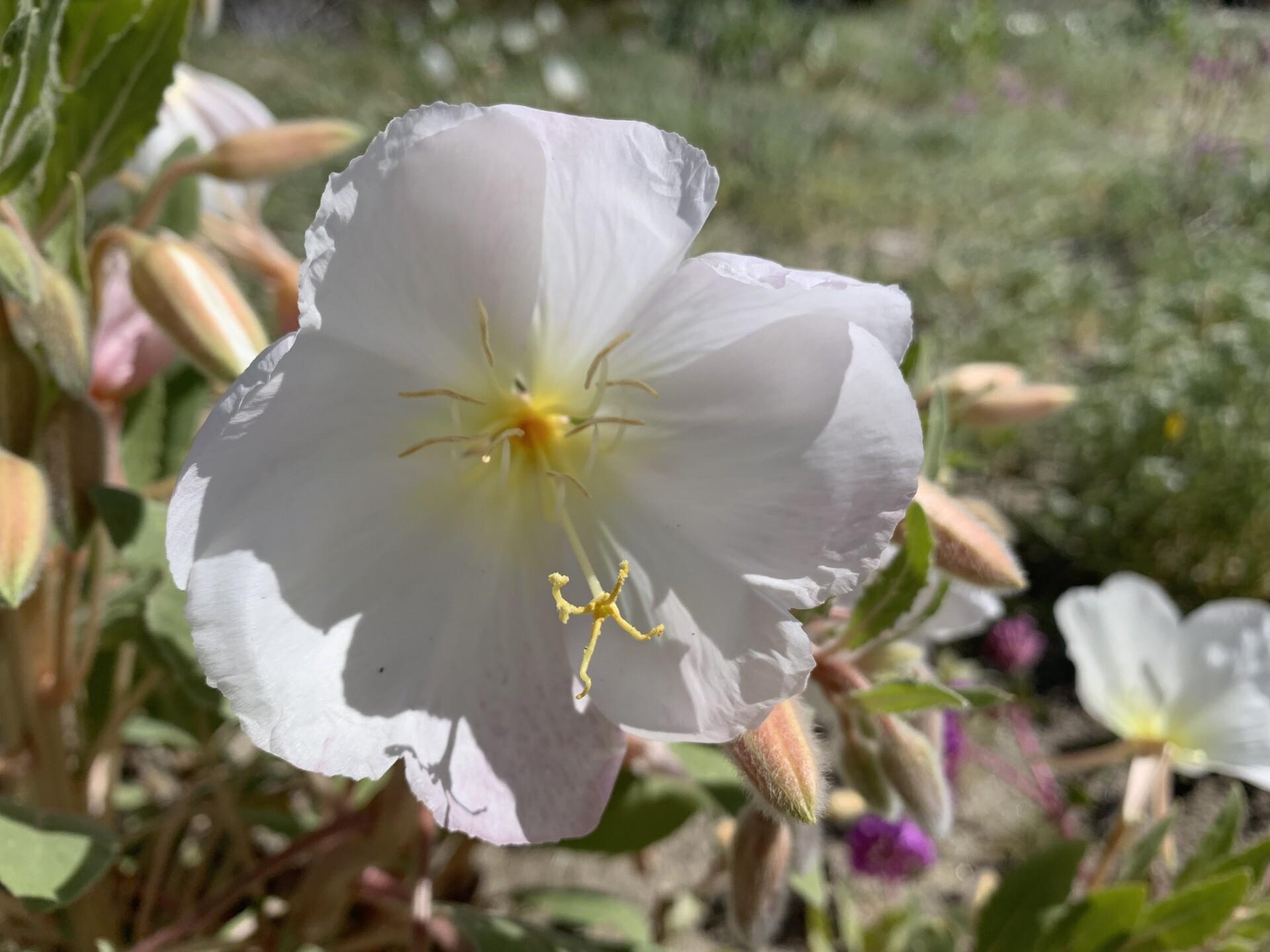 ANZA BORREGO FLOWER_2459.JPG