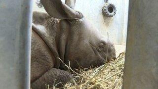 Baby rhino keeps warm