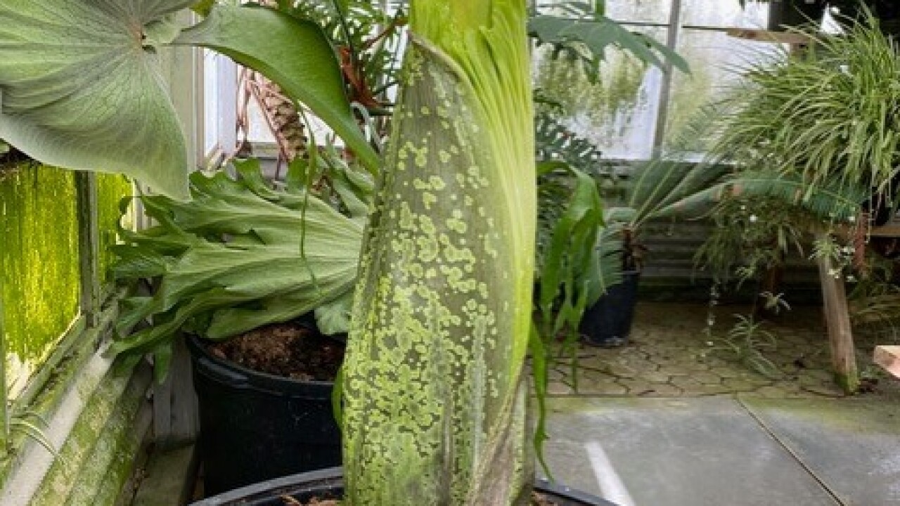Rare Corpse Flower To Bloom At Cal Poly