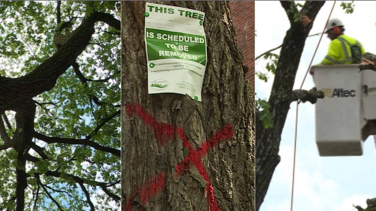 🌳Crews begin felling 'majestic' century-old elm tree in ChurchHill