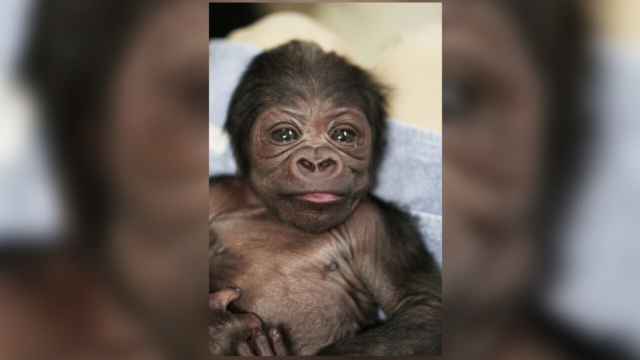Franklin Park Zoo near Boston announces birth of baby boy gorilla