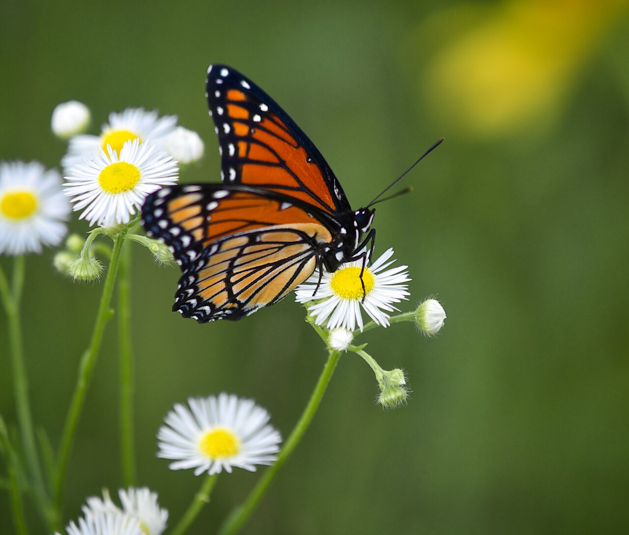 A close look at a monarch buttefly