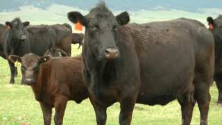Montana Ag Network: Ranchers reminded of new brucellosis vaccination rules