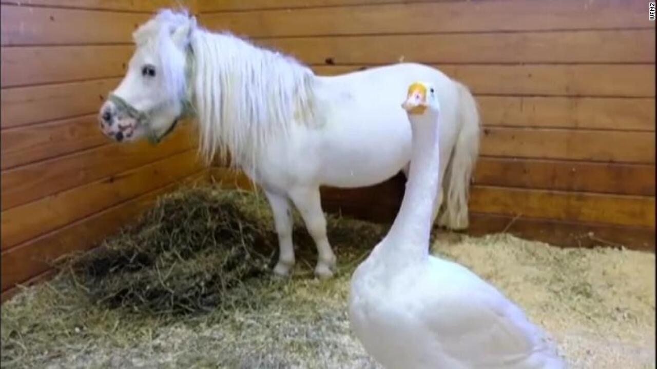 Odd couple: Miniature horse and farm goose need a forever home — together