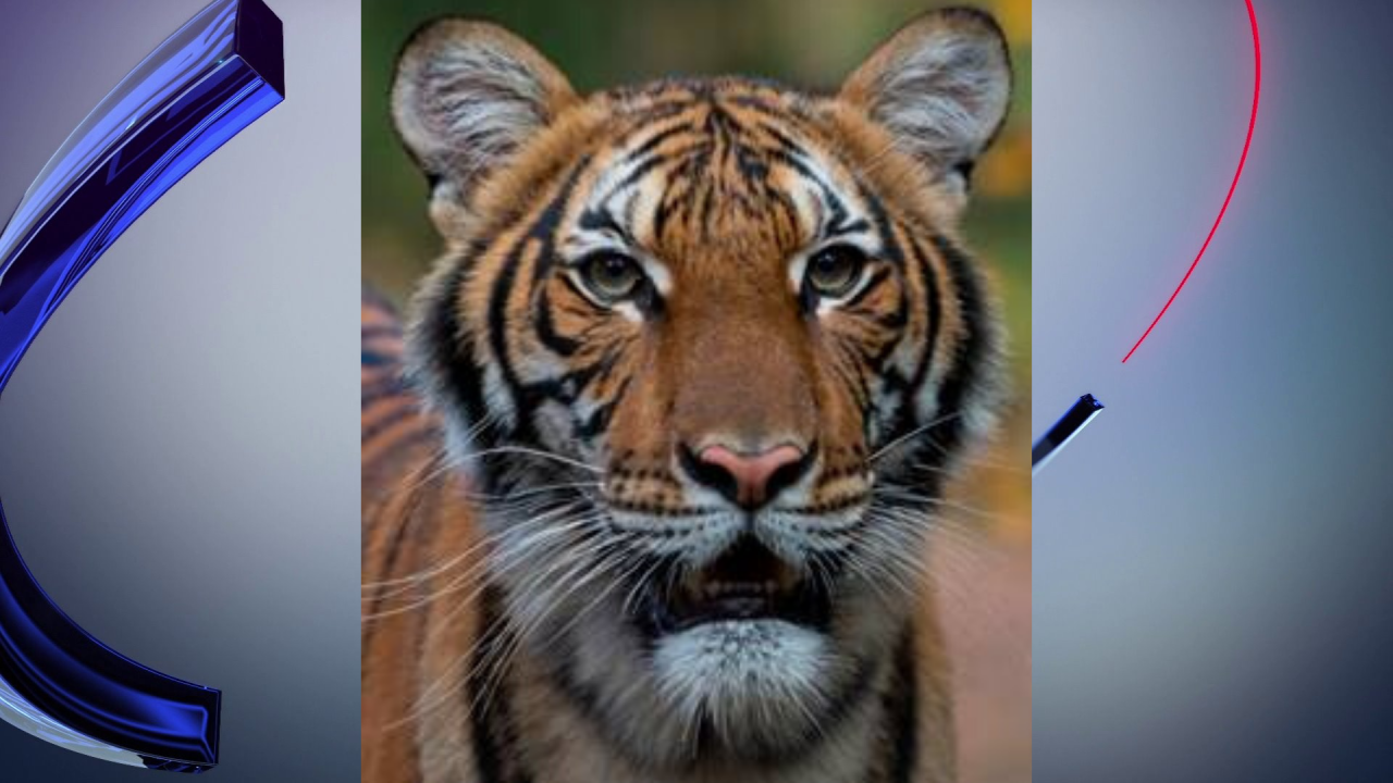 Bronx zoo tiger positive for COVID-19