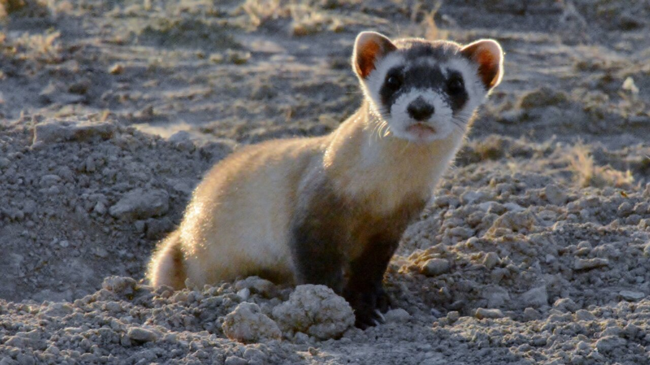 CPW releases 14 endangered black-footed ferrets on Walker Ranch in Pueblo West