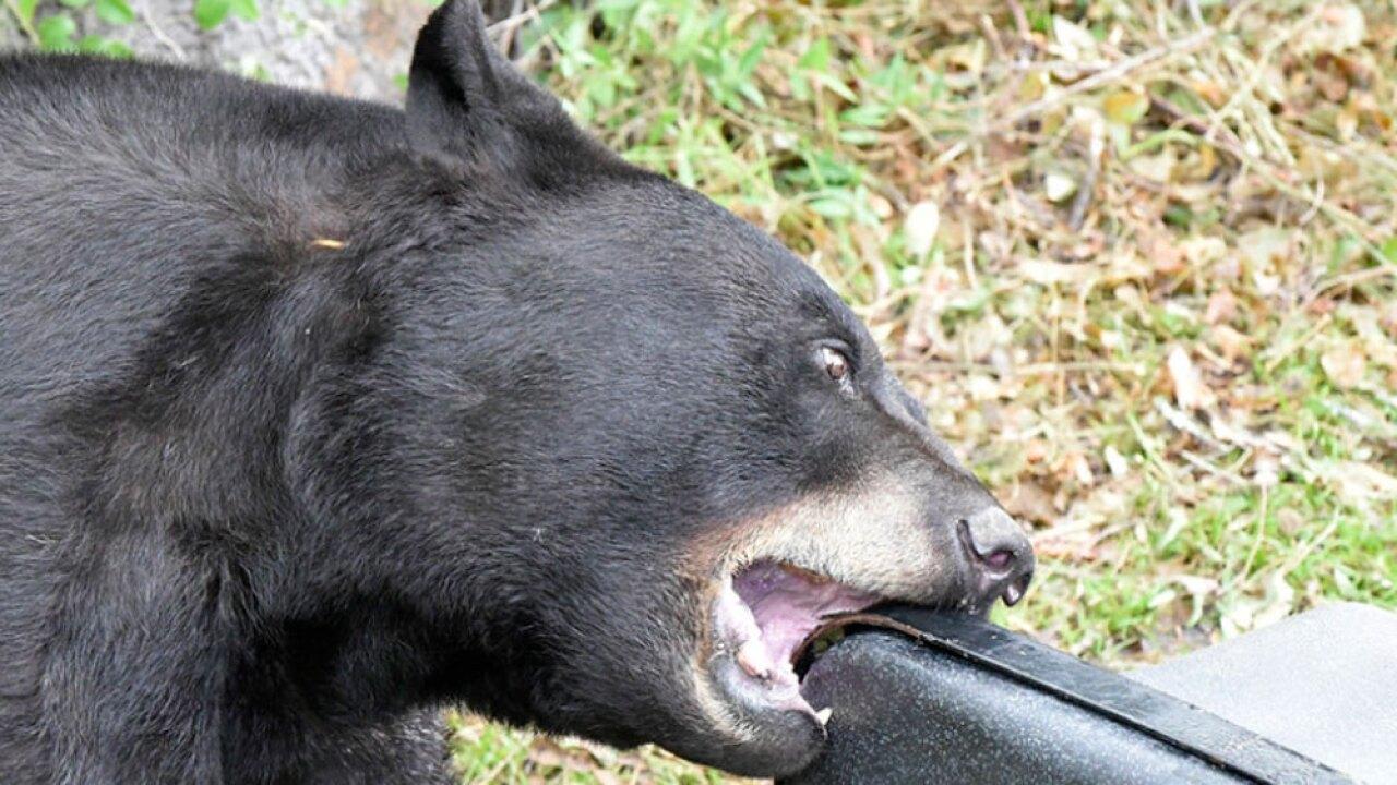 WPTV-FLORIDA-BLACK-BEAR-.jpg