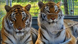 tiger_king_park_rescue_lions_tigers_bears.jpg