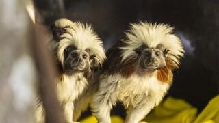 KCZoo Cotton-top Twins 2.jpg