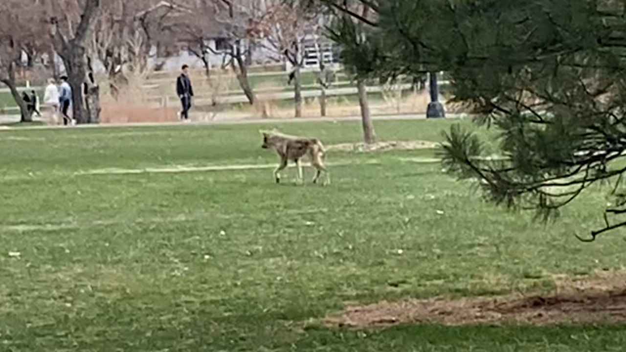 Mangy coyote at Wash Park