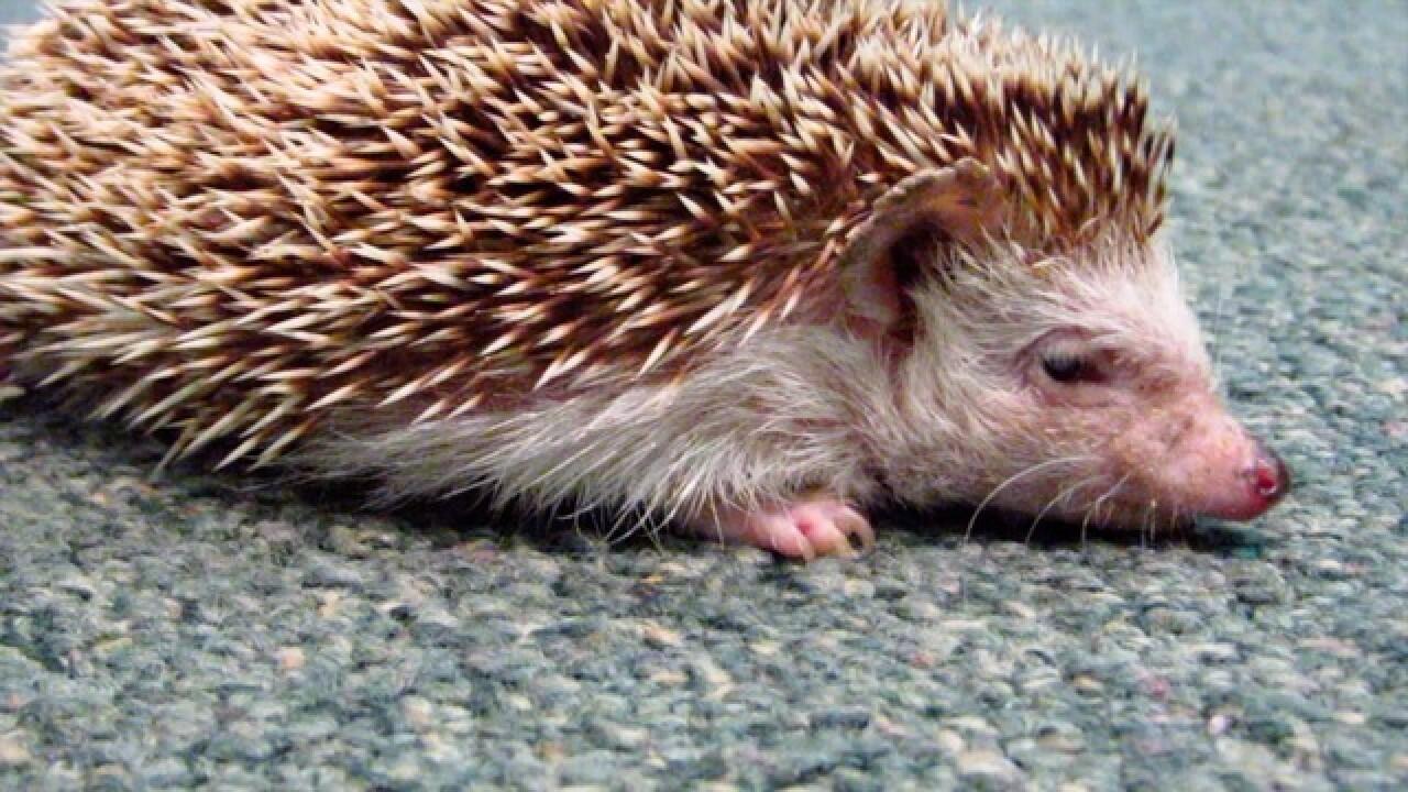 Hedgehog could be key to safer football helmets