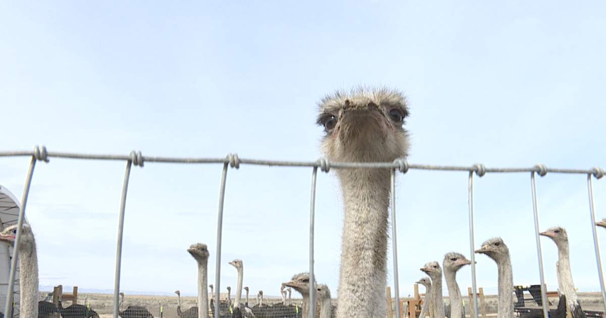 Made In Idaho: American Ostrich Farms