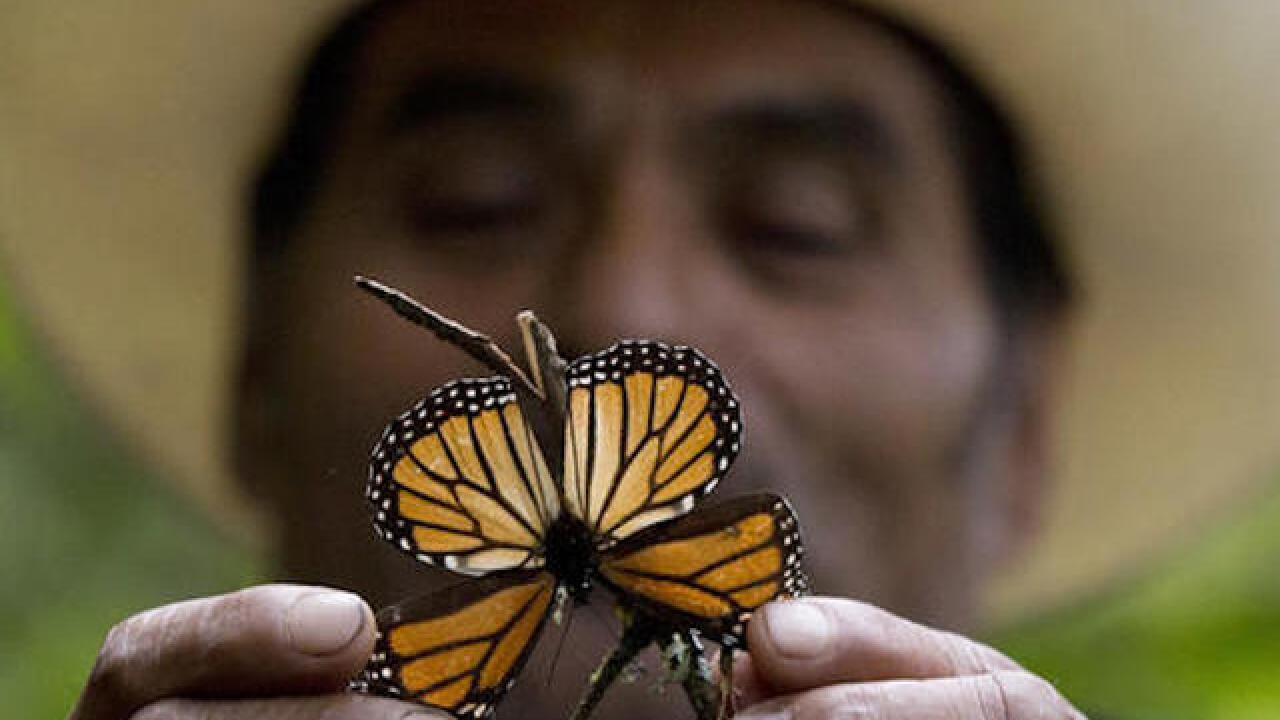 Mexico storms led to deaths of millions of monarchs