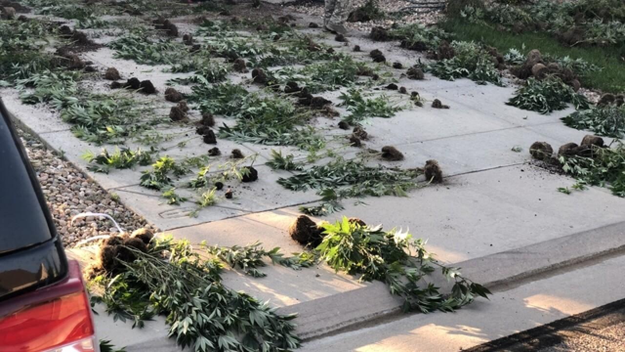 Authorities raid dozens of suspected illegal marijuana operations