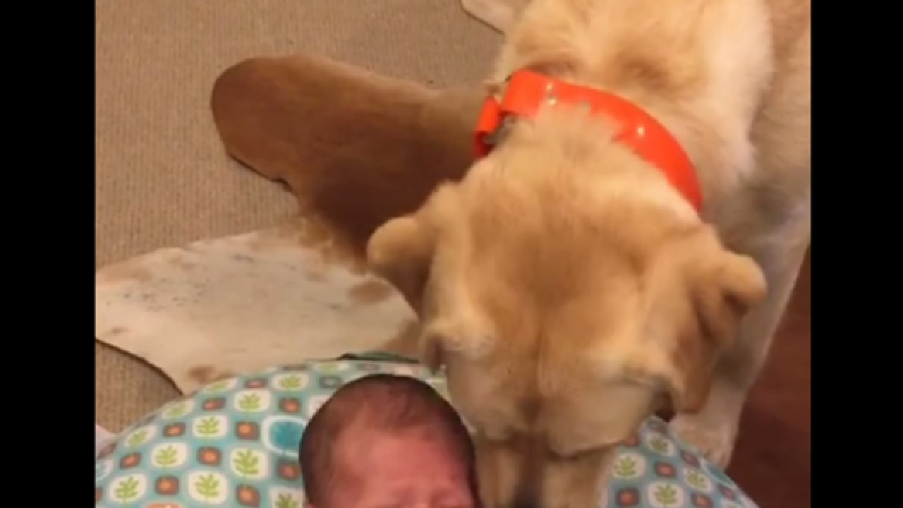 WATCH: Labrador stops newborn baby from crying