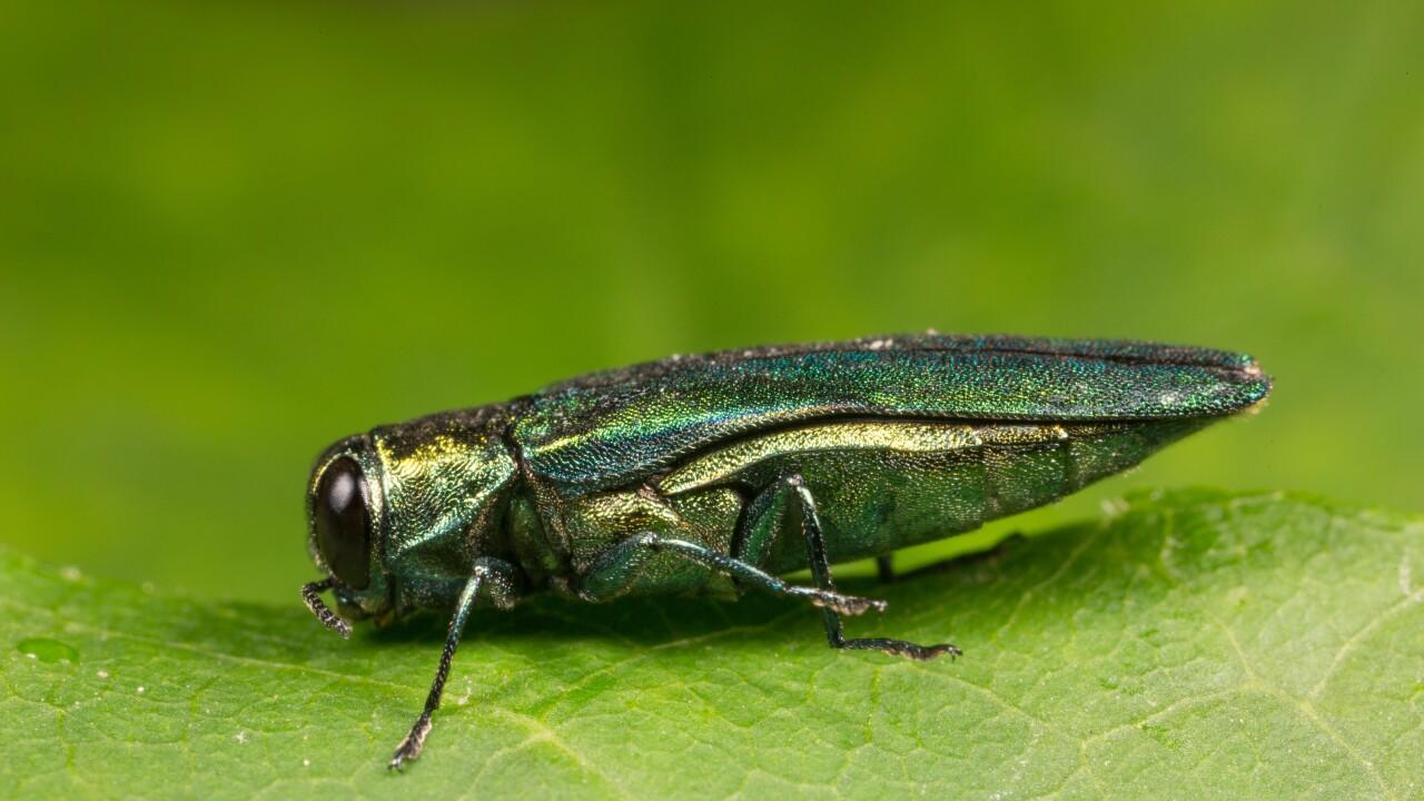 'Destructive' emerald ash borer confirmed in HenricoCounty