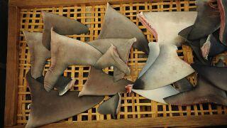 Indonesia's Controversial Shark Fin Trade