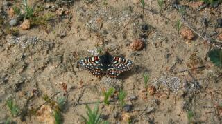 Quino_Checkerspot_Butterfly.jpg