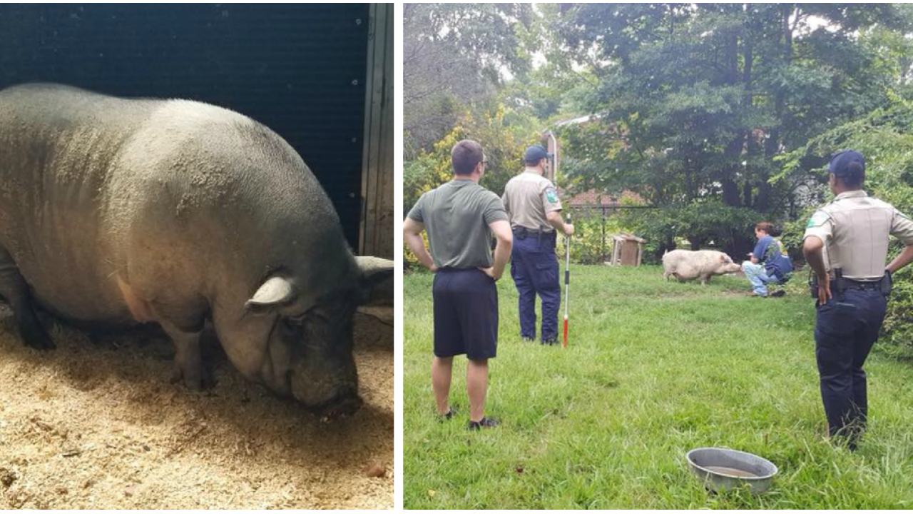 'It's not just dogs and cats:' Officers catch 2 pigs on the loose in the city