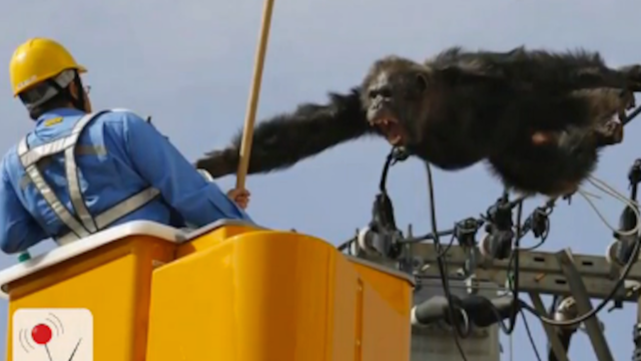 Chimp swings from power lines after escaping from Japanese zoo