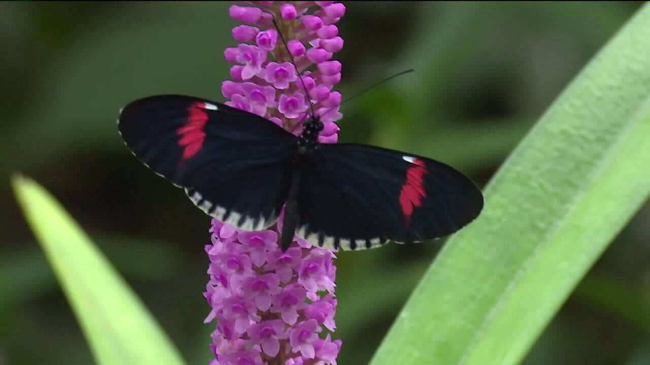 ?url=http%3A%2F%2Fewscripps brightspot.s3.amazonaws.com%2F8c%2Faa%2F9782b6cf4d1a891840480e3583ee%2Fbutterflies - Butterflies Are Blooming Grand Rapids Frederik Meijer Gardens March 1