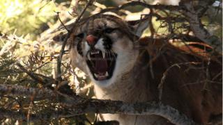 Colorado cougar attack